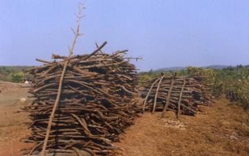 penebangan mangrove